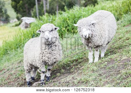 Sheep raised for wool and meat around Zumbahua province of Cotopaxi Ecuador