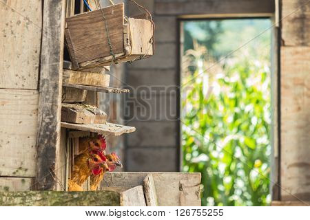 Wooden hen-coop with three chickens and a corn field in the background in Yunnan province, China