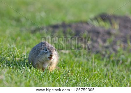 european ground squirrel standing on grass, close up