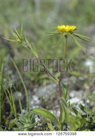 Spiny Starwort - Pallenis spinosa Mediterranean Wild Flower