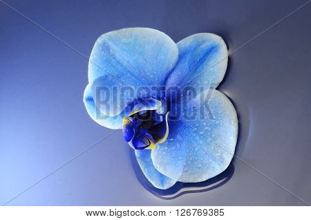 Orchid blue flower for background with droplets