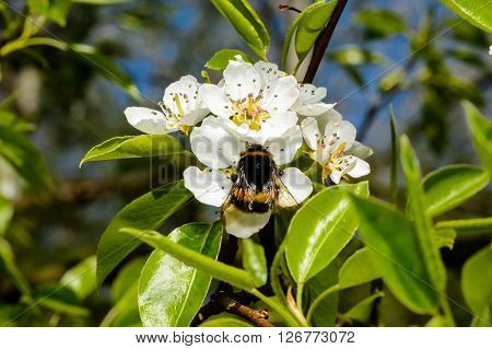 Blossoming apple tree and bumblebee sitting on flower.