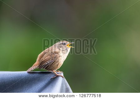 Close up of a small Wren (Troglodytes troglodytes) singing on a spring morning