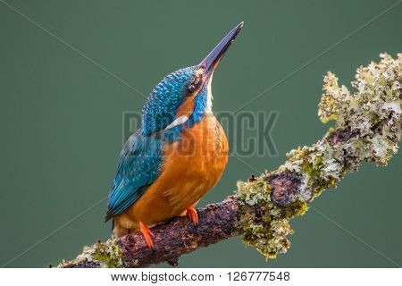 Female Common Kingfisher (Alcedo atthis) perched on a lichen covered branch looking up at the sky