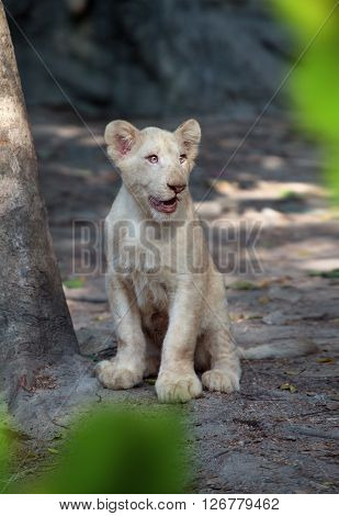 view on nice young lion baby in summer wildlife environment