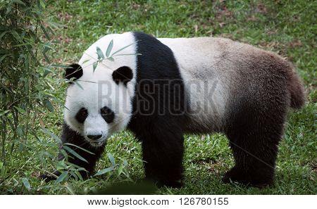 portrait of nice panda bear walking in summer environment