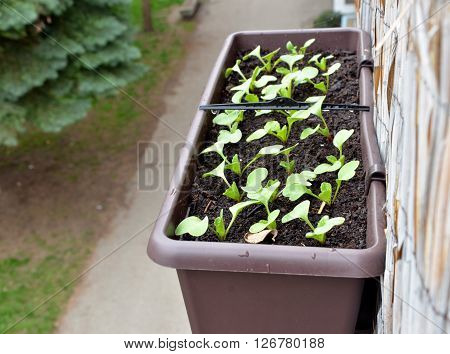 Radishes planted in plastic box hang on balcony railing from outside