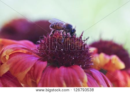 A Honey Bee on a Blanket Flower Gaillardia aristata ** Note: Soft Focus at 100%, best at smaller sizes
