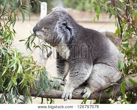 Close view of the koala eating leaves in wildlife reservation (Tasmania Australia).