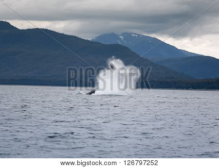 Humpback whale breaching near Juneau, Alaska, USA