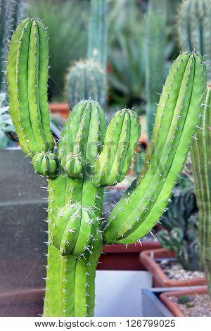Cactus Plant - Myrtillocactus schenkii in greenhouse