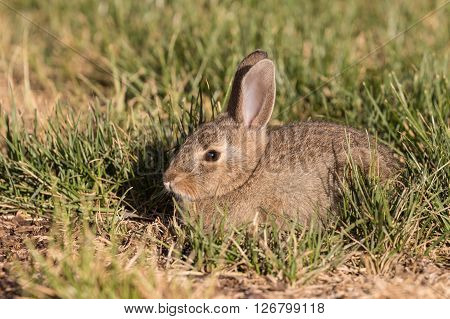 a cute young cottontail rabbit in grass