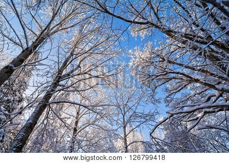 A snowy winter scene with the snow clinging to the trees against a beautiful blue sky.