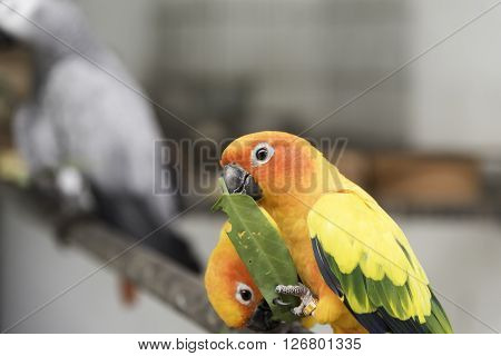 Two lovely sun conure parrots bird on the branch eating their food closeup