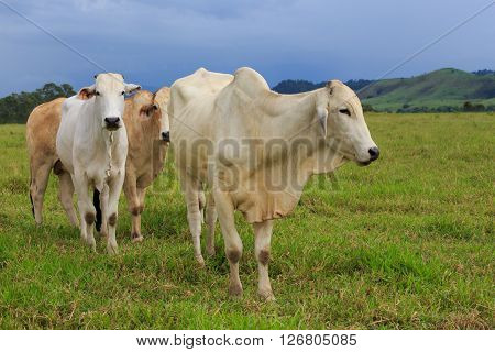 group of pretty brazilian cows on a pasture at the cloudy day