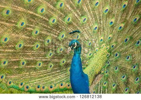 Closeup image of a beautful male peacock