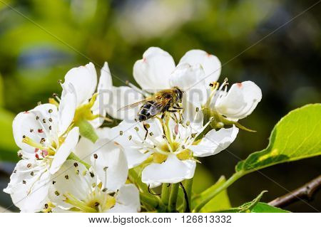 Blossoming apple tree and bee sitting on flower.