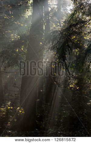Misty autumnal coniferous stand in morning with sunbeams entering,Bialowieza Forest,Poland,Europe