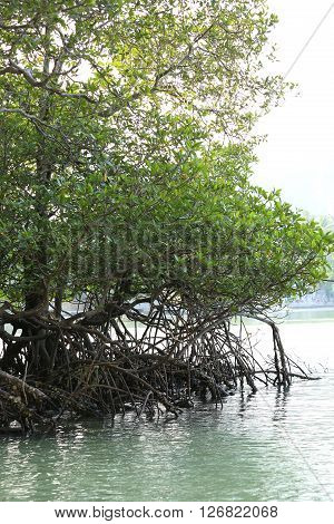 green mangroves growing in tropical seaside beach