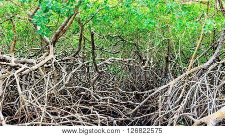 Green mangroves swamp jungle dense vegetation forest in Tobago Caribbean