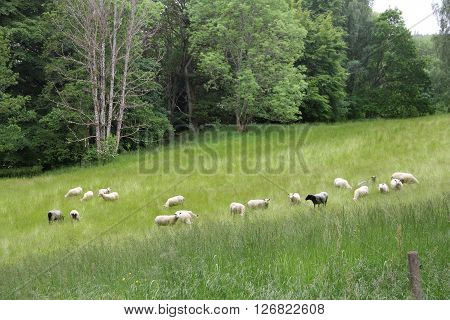 Sheeps Grazing On Meadow