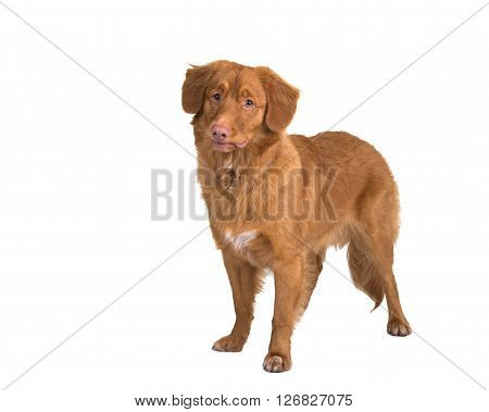 Standing Nova Scotia duck tolling retriever isolated on a white background