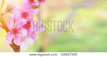 Blossom tree over nature background/ Spring flowers/Spring Background. Peach blossoms.