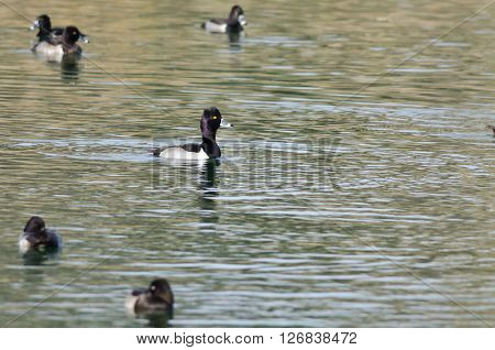 Flock of Ring-Necked Ducks Resting on the Green Pond