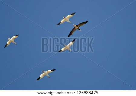 Blue Goose Flying with the White Snow Geese in a Clear Sky
