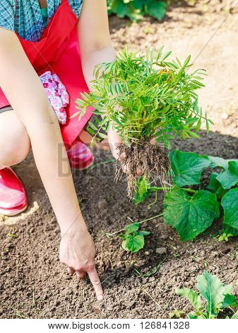 Closeup Woman Gardener Replanting Flowers