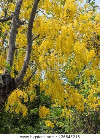 Golden shower tree or Cassia fistula in Thailand