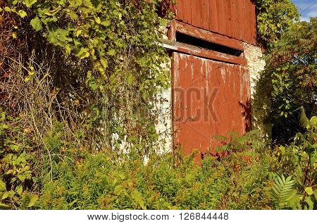 A sliding red weathered door on a track is part of a deteriorating barn surrounded by vines and foliage.