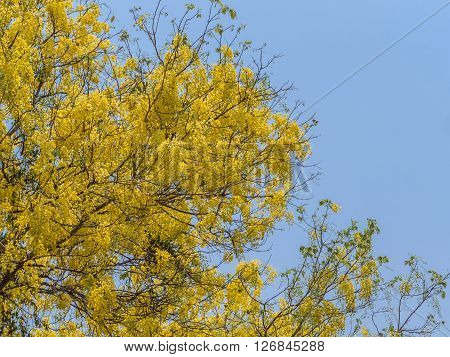 Golden shower tree or Cassia fistula with blue sky in background