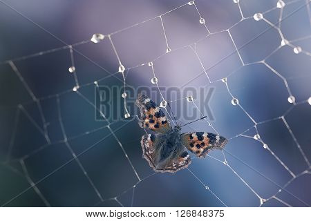 Spiderweb with waterdrops of dew and catched butterfly in it