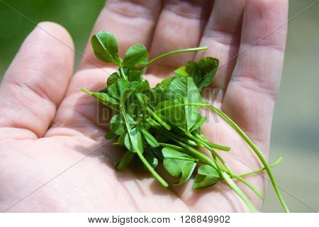 Clovers in a hand