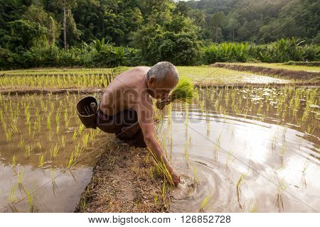 MAE HONG SON , NORTHEM THAILAND - JULY 19, 2005 :  July 2005, In the province of Mae Hong Son, north of Thailand close to Myanmar border. Thai farmer men working in the rice field.