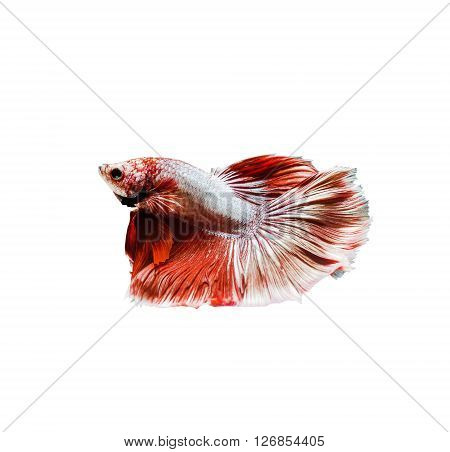 Capture the moving moment of red siamese fighting fish betta isolated on white background.