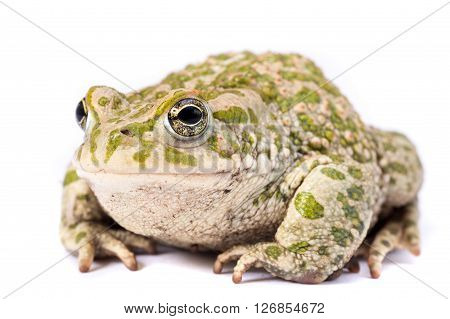 Green and brown frog isolated on a white background