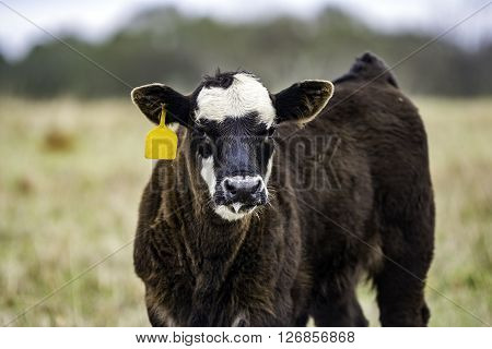 Black and white calf with yellow ear tag three-quarter view with blurry backtround