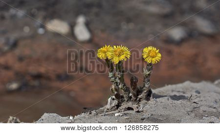 Spring flowers shoots mother and machihi (Tussilago fartura).