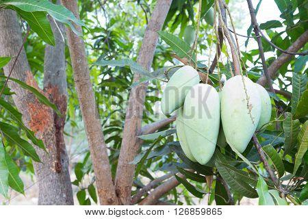 Fresh mango hang on tree, Rad mango