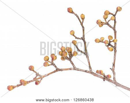 European cornel branch with young blossoming isolated over white background