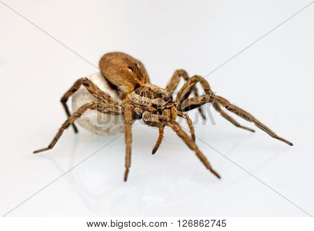Photo of a giant and dangerous spider