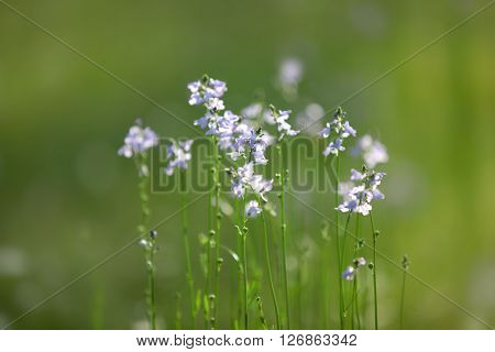 Tiny wild flowers in the grass