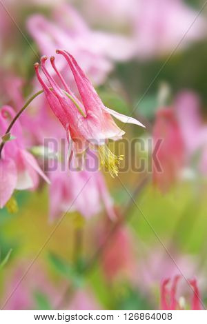 Pink Columbine flower on the plant