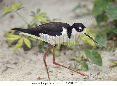 Black-necked Stilt in Florida Wetlands