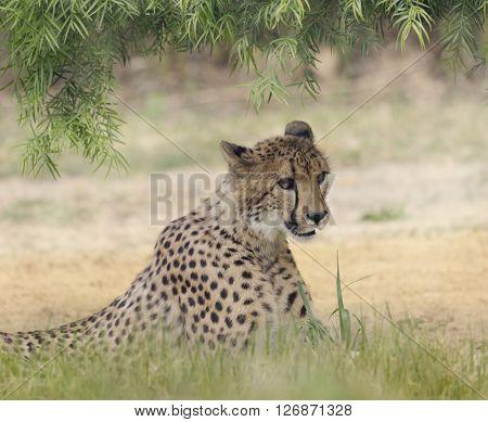 Cheetah  Resting in a Shady Spot