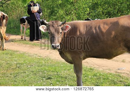 brown cow with horns looking at us and the picturesque rural view with cows road and nun in background