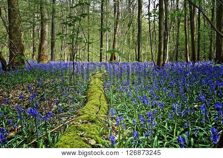 Magical Morning  In Forest Of Halle With Bluebell Flowers
