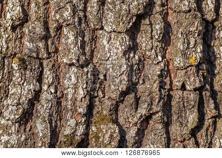 texture of poplar tree  bark in the forest